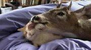 Осиротевший олененок принял за новую маму домашнюю кошку