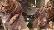 Взрослый кот взял опекунство над котёнком-сиротой и приучает его обниматься целыми днями напролёт!