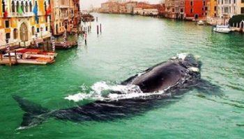 В Венецию из Атлантики заплыл целый кит!