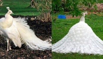 Шикарный павлин-альбинос — он словно соткан из белого кружева и волшебства!