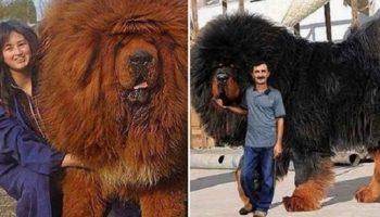 Вот так выглядит самая дорогая собака на земле — тибетский мастиф