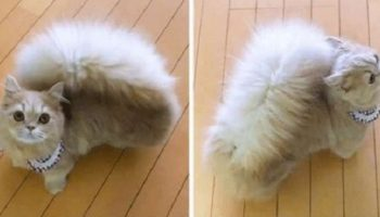 В Японии живет уникальная кошка с беличьим хвостом