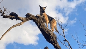 Гоняясь за кошкой собака сама не заметила, как забралась на вершину дерева