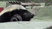 Уникальный медоед довел сотрудников зоопарка до истерики своими выходками