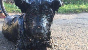 Волонтеры спасли собаку, застрявшую в битуме