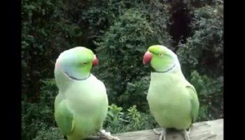 Самая забавная парочка попугаев беседует. Насмеялся от души!