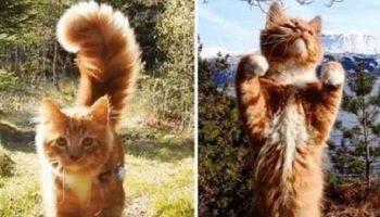 Этот норвежский котик, просто обожает гулять с людьми по дикой природе!