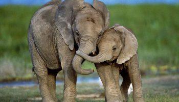 Слоненок самоотверженно бросился в реку спасать жизнь человеку