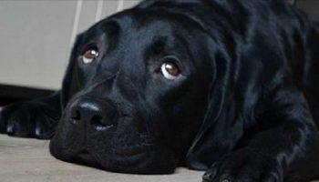 Женщине на девятом месяце беременности неожиданно подарили большую собаку