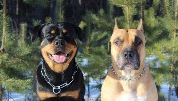 История о том, как два огромных и суровых пса стали заботливыми папашами