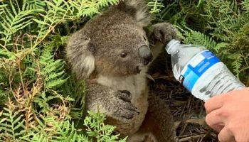 Австралийцы лично спасают коал от огненной стихии