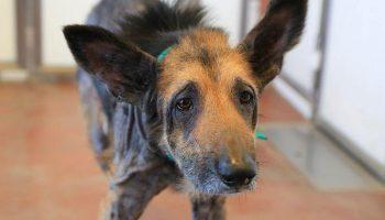 У бездомного и больного пса не было шансов, но волонтер взяла его домой и совершила чудо