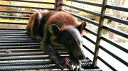 Тощие и слабые медвежата еле поднимали голову. Всю жизнь они просидели в клетке, и ели одни лишь бананы