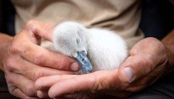Спасенный птенец лебедя вернулся к вырастившему его мужчине, потому что не смог без него и заскучал…