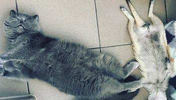 Удивительная дружба кошки и суриката. Они неразлучны!