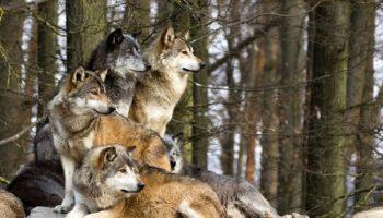 Шокирующая история: дикие волки спасли беременную женщину во время бури и приняли у нее роды…