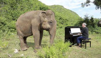 Слепые слоны слушают классическую музыку, чтобы успокоиться