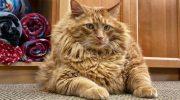 Знакомьтесь – очаровательный кот Базука, которому 5 лет и он весит 16 килограмм!