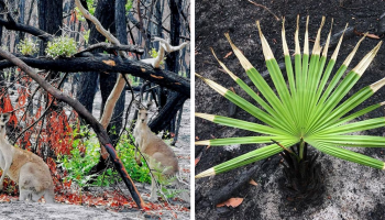 Австралийская природа начала оживать после пожаров