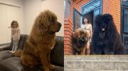 15 милых и забавных фото с тибетскими мастифами