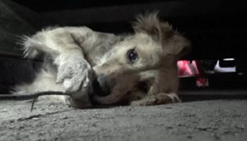 Напуганный пес закрывал глаза как ребенок, когда за ним пришли спасатели