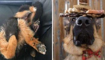 22 фото доказывающих, что жизнь с немецкой овчаркой очень непроста!