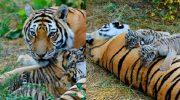 Амурская тигрица усыновила брошенных тигрят