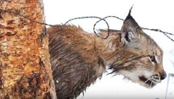 Добровольцы спасли рысь, которая попала в петлю