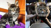 Кот, который официально самый длинный в мире. Его хобби: кататься в детской коляске и удивлять людей