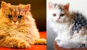 Уникальные кудрявые котята, породы селкирк-рекс, покоряют Сеть