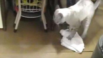 Ролик покорил весь мир: Кот моет пол и смешно ругается на неряшливого хозяина
