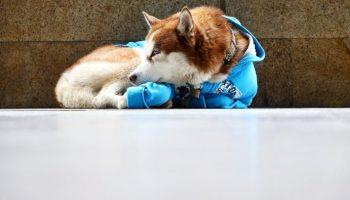В Калининграде собака каждый день по 8 часов ждет хозяйку возле работы. Ей даже связали свитер