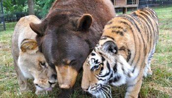 Медведь, лев и тигр — лучшие друзья, которые неразлучны вот уже 15 лет!