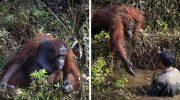 Орангутанг предложил руку помощи человеку, который стоял в воде