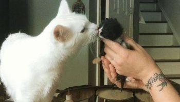Этот котик посвятил свою жизнь заботе о приёмных котятах и стал идеальным суррогатным папой…