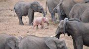 Слонёнка-альбиноса удалось заснять туристу: редкие фото-кадры