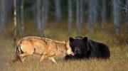 Удивительная дружба медведя и волчицы: уникальные фото жителя Финляндии