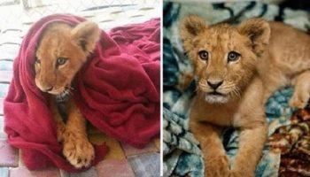 Спасенный львенок, живущий когда-то в семье, не может спать без одеяла, несмотря на то, что он уже вырос