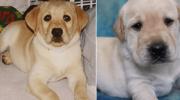 Американская семья клонировала собаку, который спасла беременную хозяйку, чтобы он мог заботиться и о её детях