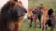 Льва окружила стая гиен. Он пытался спастись, но тщетно, пока ему на помощь не пришел брат