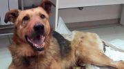 Сбитая локомотивом собака, пять дней пролежала на морозе, пока ее не спасла одна женщина