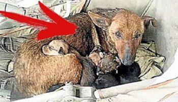 Девушка из Аргентины нашла эту маму-собаку на улице. Приглядевшись, она потеряла дар речи!