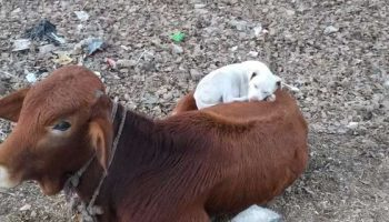 Нежная дружба коровы и собаки