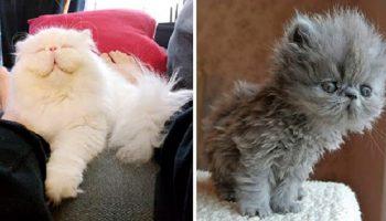 Фото 25 нереально пушистых котов, которых хочется сразу обнять