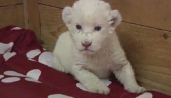 Белый львенок из Белградского зоопарка тестирует свои голосовые связки.