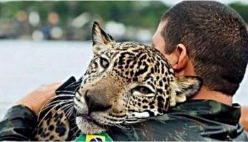 Спасенный ягуар обнял своего спасителя, как домашний кот…