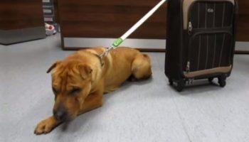 На вокзале нашли грустного пса, привязанного к чемодану