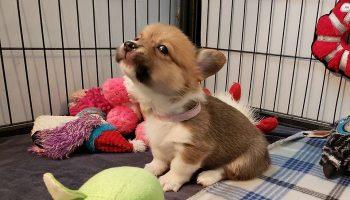 Десять самых смешных фотографий любимой породы собак Елизаветы Второй