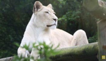 У обессиленной и грустной львицы жизнь стала налаживаться, как только она увидела нового соседа