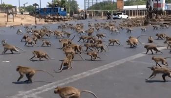 Тысячи голодных обезьян в Таиланде терроризируют город из-за отсутствия еды и туристов